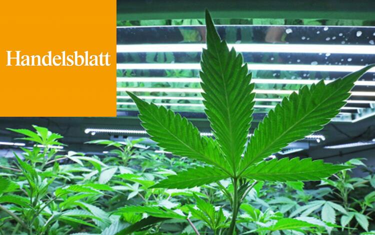 Legalisierung von Cannabis verharmlost die medizinischen Gefahren