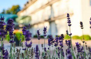 Lavendelstrauch vor der Max Grundig Klinik